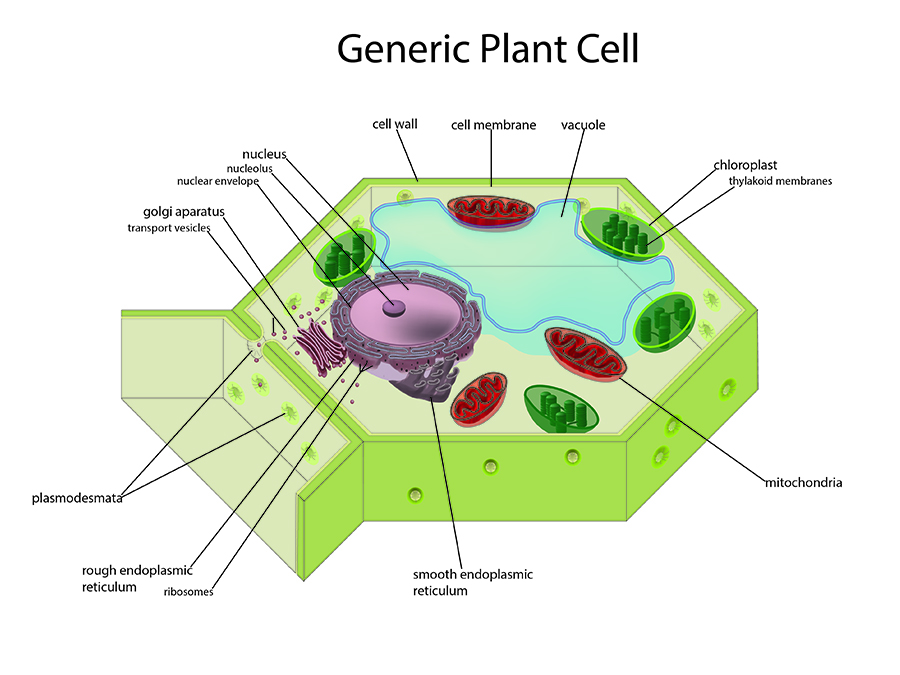 Generic Plant Cell